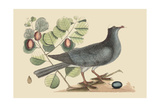 White Crown Pigeon Poster by Mark Catesby