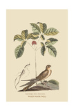 Whipoorwill Print by Mark Catesby