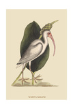 White Curlew Print by Mark Catesby