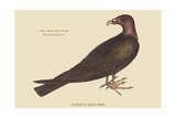 Turkey Buzzard Posters by Mark Catesby