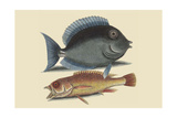 Tang and Yellow Fish Prints by Mark Catesby