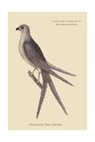 Swallow Tail Hawk Prints by Mark Catesby