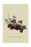 Wilmot's Early Red Gooseberry Posters by William Hooker