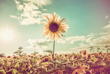 One Sunflower Rising above the Rest Photographic Print by  soupstock