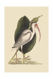 White Curlew Prints by Mark Catesby