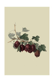 Wilmot's Early Red Gooseberry Prints by William Hooker