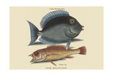 Tang and Yellow Fish Print by Mark Catesby