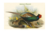 Phasianus Versicolor Japanese Pheasant Prints by John Gould