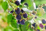 Blackberry Photographic Print by  igorr
