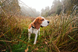 Beagle in Forest Photographic Print by  igorr