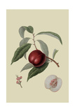 Violet Hative Nectarine Posters by William Hooker