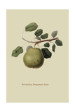 Wormsley Bergamot Pear Prints by William Hooker