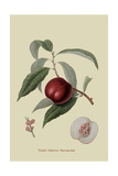 Violet Hative Nectarine Prints by William Hooker