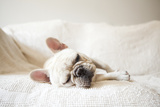 Usa, New York State, New York City, Portrait of French Bulldog Sleeping on Sofa Lámina fotográfica por Jessica Peterson