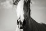 Arabian Horse Head, Sepia Photographic Print by  Suchota