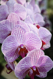Thai Orchid at Chiang Mai Flower Festival Photographic Print by Richard Taylor