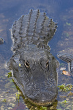 Alligator (Alligator Mississippiensis), Anhinga Trail Photographic Print by Ugo Mellone