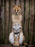 Image of a Serval Photographic Print by Wil Wardle Photography