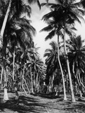 Coconut Grove Photographic Print by Three Lions