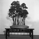 Silver Fir Bonsai Photographic Print by  Evans