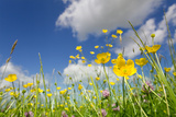 Meadow of Grass and Blooming Summer Buttercups under Blue Sky Photographic Print by  Echo