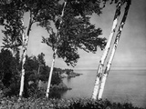 Birch Trees on Lake Superior Shore Photographic Print by Hulton Archive