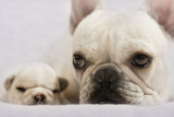 French Bulldog Photographic Print by Kerrie Tatarka