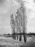 Poplar Trees Photographic Print by  Evans