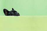 French Bulldog Puppy Photographic Print by retales botijero