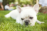 Usa, New York State, New York City, Portrait of French Bulldog Lying on Grass Photographic Print by Jessica Peterson