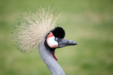 Grey Crowned Crane Photographic Print by Marcel ter Bekke