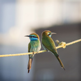 Bee Eaters Photographic Print by Naufal MQ