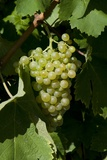 Grape of Prosecco, Combai Photographic Print by Aldo Pavan