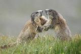Marmots (Marmota Marmota) Playing Photographic Print by Nicola Angeli