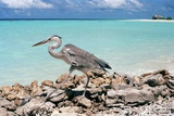 A Heron in Veligandu, an 800X300 Meters Islet of the Rashdoo's Atoll North East of Ari Atoll Photographic Print by Bruno Cossa