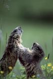 Carnia, Forni Di Sopra, Alpine Marmots (Marmota Marmota) Playing in the Alpine Grass Photographic Print by Luciano Gaudenzio/SOPA RF