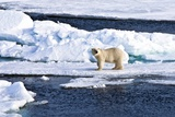 A Polar Bear Wandering on the Ice Pack North of the Svalbard Archipelago (Latitude over 81°N) Photographic Print by Bruno Cossa/SOPA RF