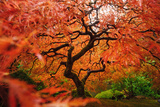 Japanese Maple Photographic Print by Piriya Photography