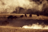 Bisons ( Bison Bison) on the Bank of Pelican Creek Photographic Print by Diana Crestan/SOPA RF