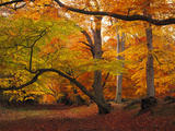 Beecwood in Autumn, Photographic Print by Brian Lawrence