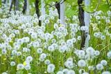 Flowering under the Vines, Combai Photographic Print by Aldo Pavan