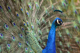 Peacock Photographic Print by Photography by Lance Mills