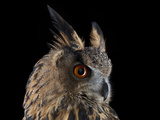 Studio Portrait of a Eurasian Eagle Owl Photographic Print by Brad Wilson