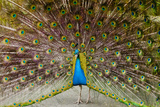 Peacock Showing off His Tail Feathers Photographic Print by Chris Dale
