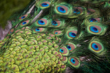 Male Peacock (Pavo Cristatus) Displaying Tail Feathers Photographic Print by altrendo travel