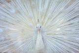 White Peacock Photographic Print by zahoor salmi