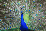 Peacock Displaying His Colorful Feathers, close Up Photographic Print by Juan Silva