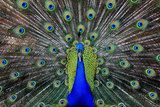 Male Peacock Photographic Print by  HSR