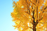 Gingko Tree, Nagano Prefecture, Japan Photographic Print by NAOKI MUTAI/a.collectionRF