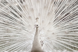 White Peacock, Lahore Photographic Print by pharan Tanveer